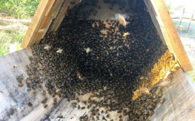 Mullumbimbees | Spring swarms and new hives