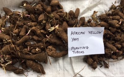 Byron Hinterland Seed Savers | Yam Registry